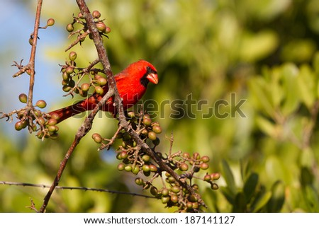 Male Northern Cardinal in Ding Darling National Wildlife Refuge in Florida - stock photo