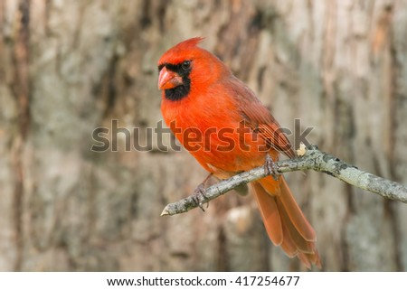 Male Northern Cardinal on a tree branch. - stock photo