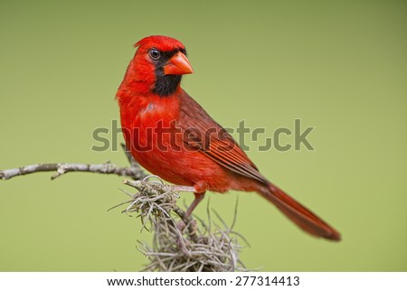 Male Northern Cardinal on Mossy Branch - stock photo