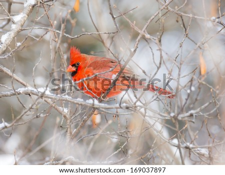 Male Northern cardinal perched on a branch in winter - stock photo