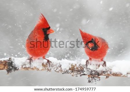 Male Northern Cardinals (cardinalis cardinalis) in a snowy scene - stock photo