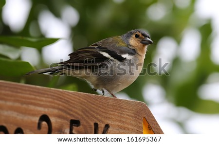 Male of a Madeiran Chaffinch - Fringilla coelebs maderensis - stock photo