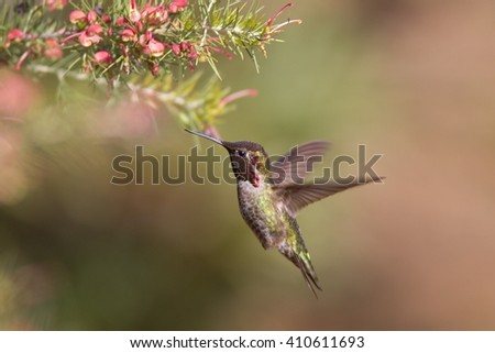 Male of Anna´s Hummingbird, beautiful hummingbird with dark red throat and green back, flying to beautiful flower, action scene in Santa Cruz arboretum in the morning light, California, USA - stock photo