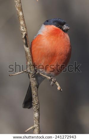 Male of bullfinch (Pyrrhula pyrrhula) on a tree - stock photo