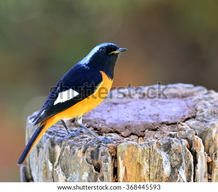 Male of Daurian Redstart (Phoenicurus auroreus) the beautiful bird with black wings and face  top of silver head and orange belly perching on the log showing its side and back profile - stock photo