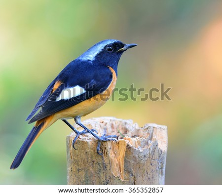 Male of Daurian Redstart (Phoenicurus auroreus) the beuatiful bird with black wings and face, silver head and orange belly, standing on the log with nice blur colorful background - stock photo