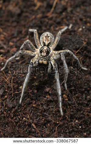 Male of Geolycosa vultuosa wolf spider. - stock photo