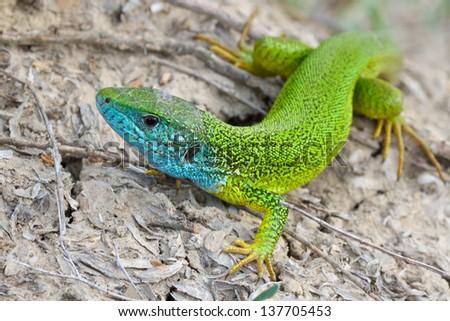 Male of green lizard (Lacerta viridis) - stock photo