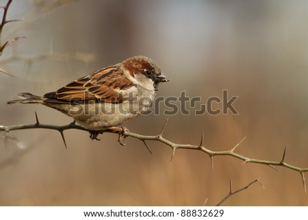 Male of House Sparrow, Passer domesticus, in winter plumage resting - stock photo