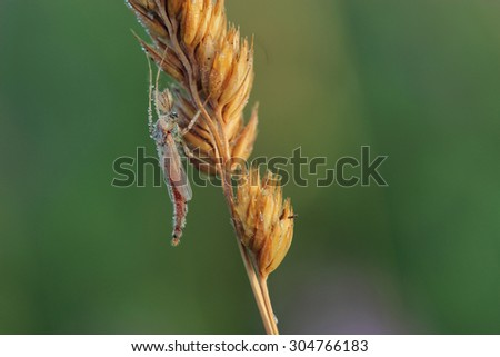 Male of mosquito resting on grass. Macro - stock photo