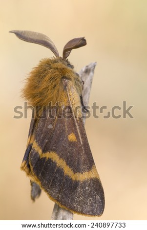 Male of the moth Lemonia dumi in nature resting - stock photo