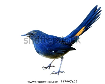 Male of White-bellied Redstart (Hodgsonius phaenicuroides) the beautiful blue bird with all detail from head to toe and tail isolated on white background - stock photo