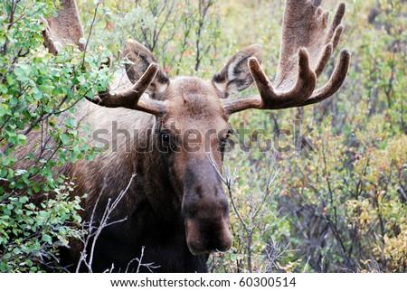 Male or Bull Moose in Denali National Park - stock photo
