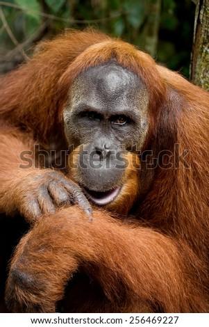 Male orangutan. Indonesia. The island of Sumatra. - stock photo