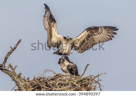 Male Osprey (Pandion haleaetus) flies in to join his mate at their nest - Florida - stock photo