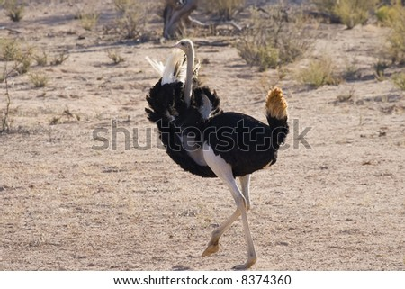 Male ostrich displaying his feathers for a female - stock photo