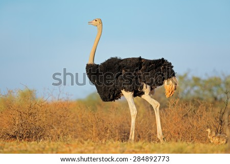 Male ostrich (Struthio camelus) with chicks,  Kalahari desert, South Africa - stock photo