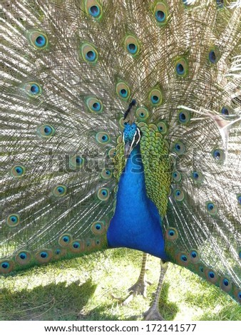 Male peacock displaying brilliant tail feathers - stock photo