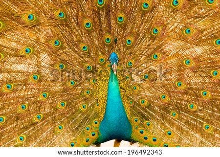 male peacock has colorful feathers in order to attract a mate - stock photo