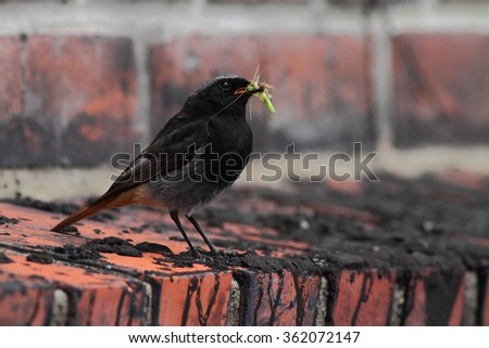 Male Phoenicurus ochruros, black redstart sitting on old brick wall with streaks of tar with some insects in its beak. - stock photo