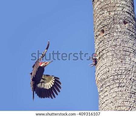 Male Pileated Woodpecker Feeding his Babies - stock photo
