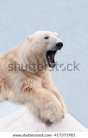 male polar bear lying on the ice. male polar bear yawns, bear opened his mouth - stock photo