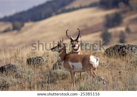 Male pronghorn sheep protecting his mate - stock photo