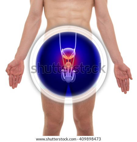 Male Prostate Anatomy - 3D illustration - stock photo