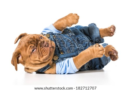 male puppy - dogue de bordeaux wearing cute overalls isolated on white background - stock photo