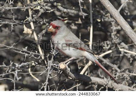 Male Pyrrhuloxia at Bosque del Apache National Wildlife Refuge in New Mexico USA - stock photo