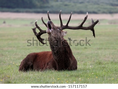 Male Red deer stag calling grunts in field to attract females - stock photo