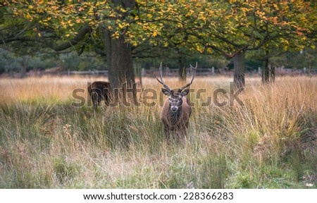 Male Red deer stag in the autumn Richmond park, London, UK - stock photo