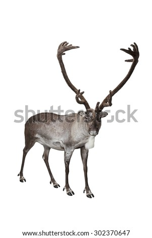 Male reindeer shot in studio isolated on white - stock photo