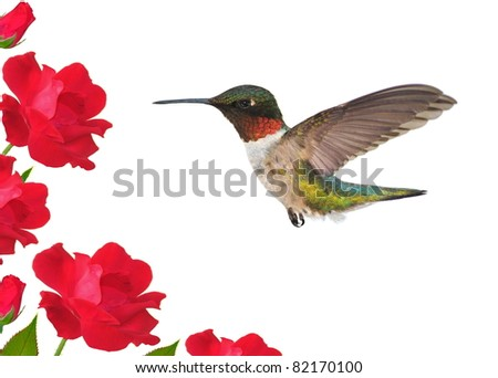 Male Ruby-throated Hummingbird (Archilochus colubris) at red roses. - stock photo