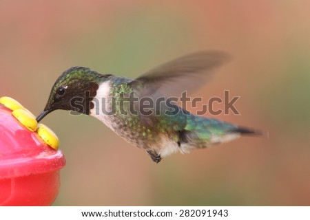 Male Ruby-throated Hummingbird (archilochus colubris) in flight at a feeder with flowers in the background - stock photo