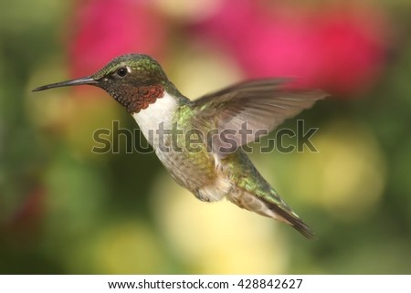 Male Ruby-throated Hummingbird (archilochus colubris) in flight with a colorful background - stock photo