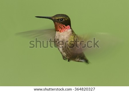 Male Ruby-throated Hummingbird (archilochus colubris) in flight with a green background - stock photo