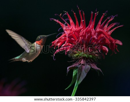 Male Ruby-throated Hummingbird (Archilochus colubris) on Bee Balm - stock photo