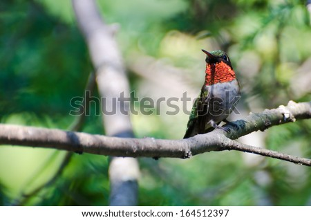 Male Ruby-Throated Hummingbird Perched in a Tree - stock photo