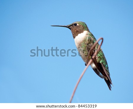 Male Ruby-throated Hummingbird resting on a wire against clear blue sky - stock photo