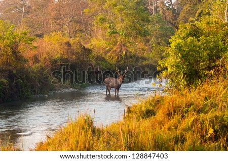 Male Sambar deer standing in the middle of a jungle stream at Jaldapara Wildlife Sanctuary during the golden hour of sunrise - stock photo
