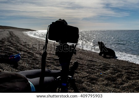 Male sea lion seal coming to photographer camera on the beach - stock photo