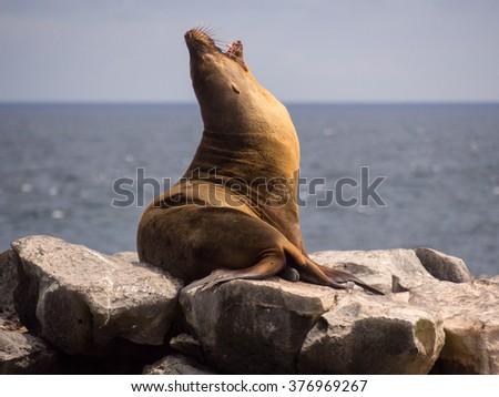 Male sea lion yawning on rocks,  Plaza Sur, Galapagos Islands - stock photo