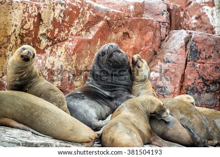 Male sea lions surrounded by females in the Ballestas Islands in Paracas, Peru - stock photo