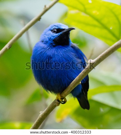 Male Shining Honeycreeper (Cyanerpes lucidus) in breeding plumage - stock photo