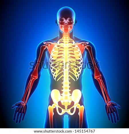 Male Skeleton detail - Anatomy Bones - stock photo
