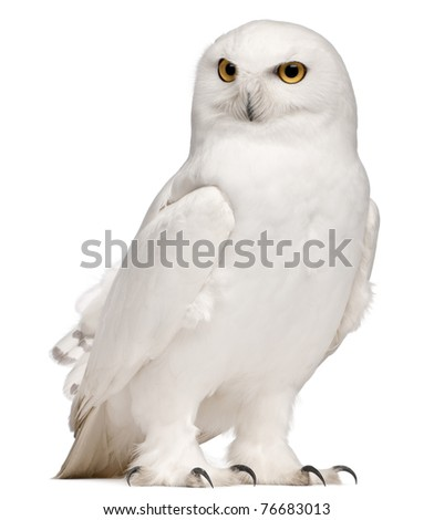 Male Snowy Owl, Bubo scandiacus, 8 years old, in front of white background - stock photo
