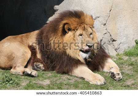 Male South African Lion (Panthera leo)  resting in the sun. Tongue flicking out, licking his lips. - stock photo