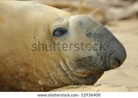 Male Southern Elephant Seal on Stewart Island, New Zealand - stock photo