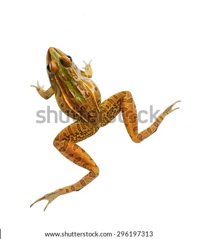 Male Southern Leopard Frog Isolated on White - stock photo